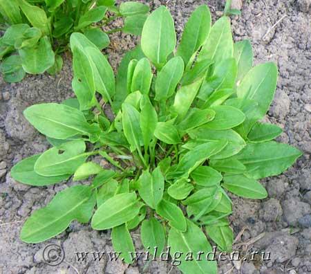 ЩАВЕЛЬ - Зелень - Выращивание, полезные свойства, фото - Дикий ...